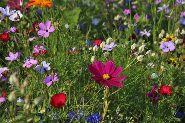 Herts County Council is proposing cutting some verges once a year to encourage wildflowers. Photo: Pixabay