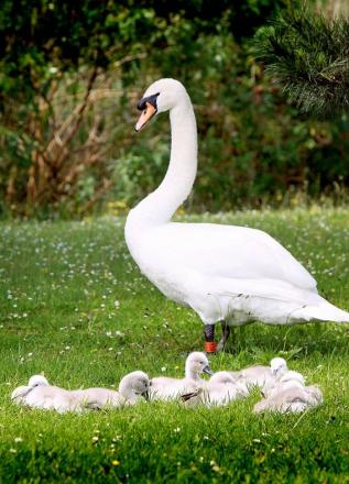 Family of fluffy cygnets mistake Brook Road for Swan Lane