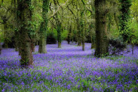 Borehamwood Times: BLOOMING: Pamphill bluebell wood by  Neil Newey