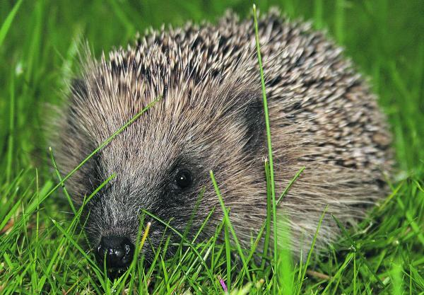 Help hedgehogs by doing simple things in your garden