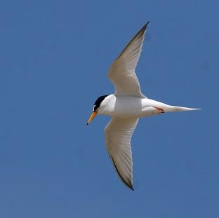 Little terns have been badly affected by recent severe weather