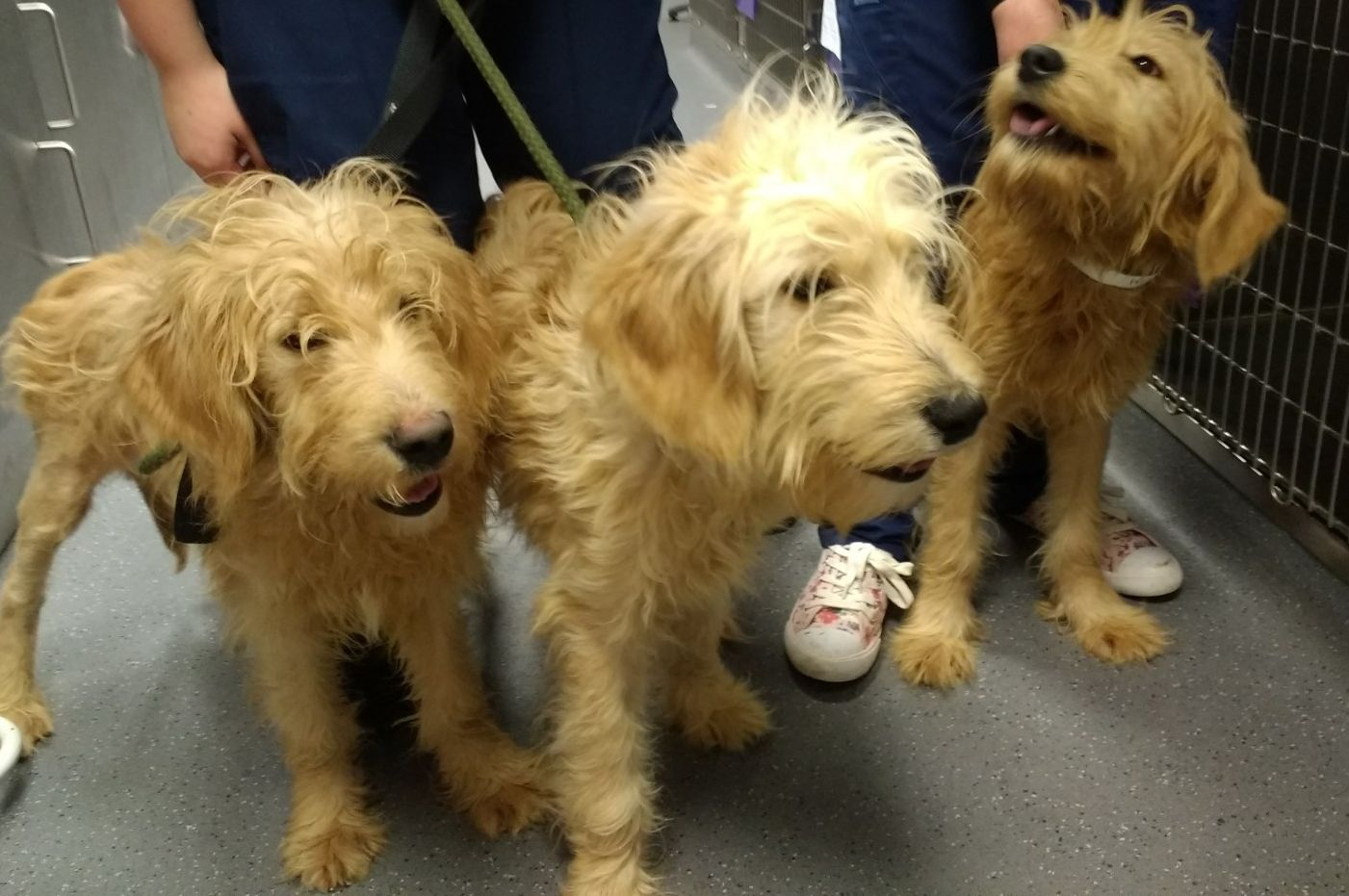The three puppies at Putney animal hospital. Picture: RSPCA