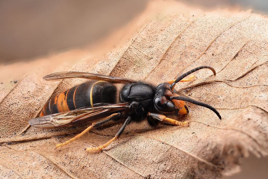 Individually, Asian hornets are not aggressive but are very defensive when protecting their nests